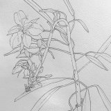 Line drawing of Rosebay Willowherb