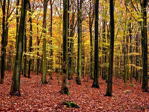 Autumn Beech Woods Cranborne Chase