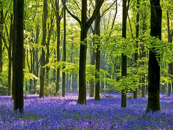 Bluebell Woods Wiltshire
