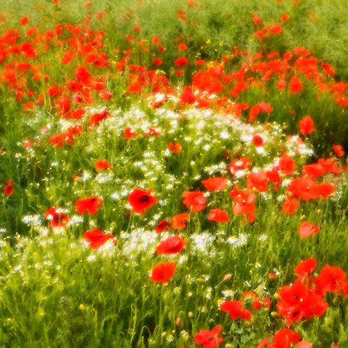 Impressionist Poppies and Daisies