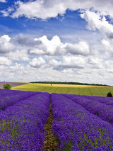 Lavender and Clouds
