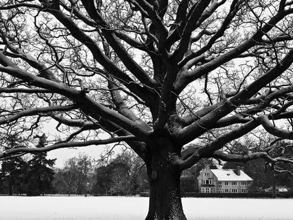 Oak and Snow