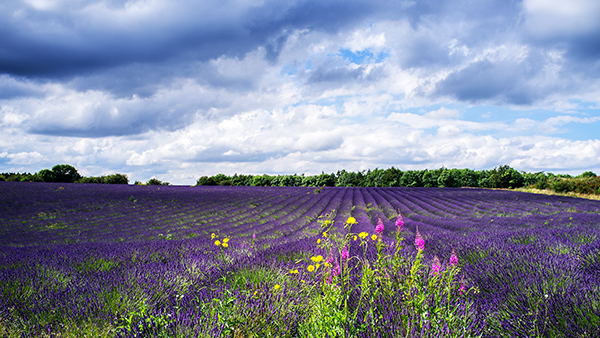 Sky, Lavender and Wild Flowers at Snowshill
