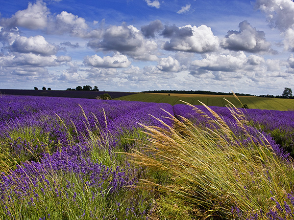 Snowshill Lavender Farm Worcestershire