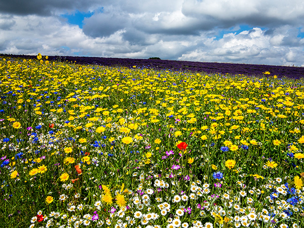 Wild Flowers and lavender Snowshill