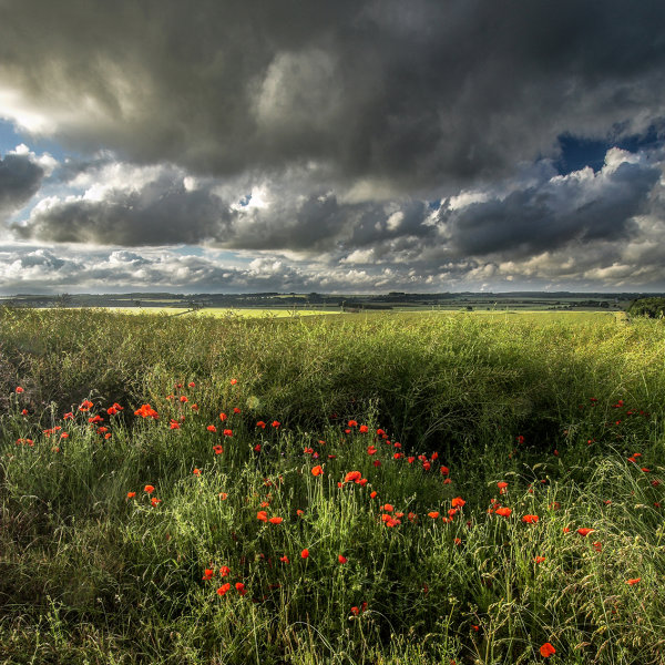 Ackling Dyke, Poppies