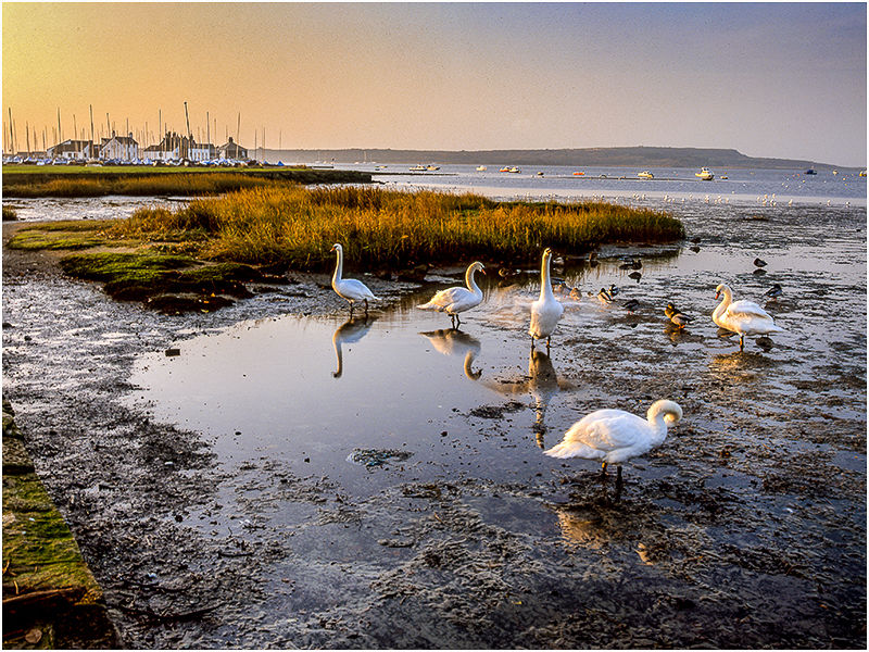 Mudeford Swans