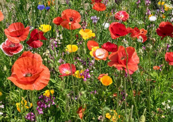 Wild Flowers, Corfe Mullen