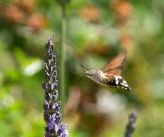 Humming Bird Moth June 2014 004