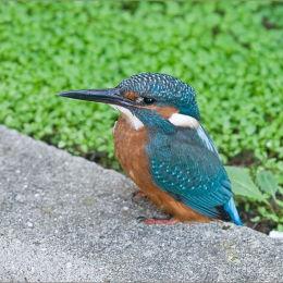 The Kingfisher.