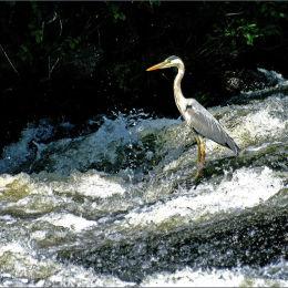 Gray Heron. River Charente. France.