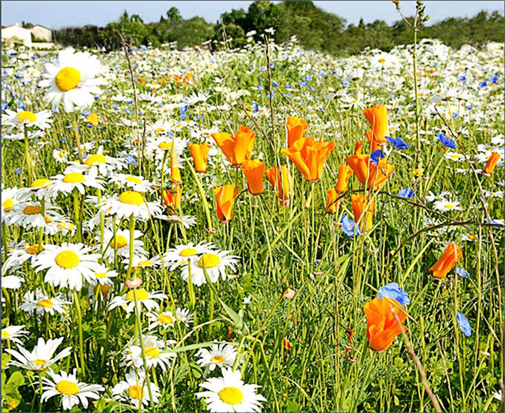 Field Of Flowers. Cognac. France.