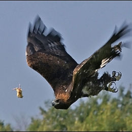 Golden Eagle. Weston Park. Shropshire. England.