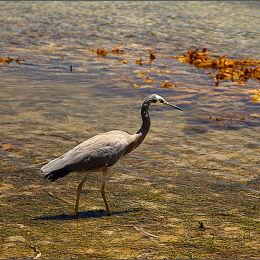 Heron. Palm Beach. Australia.