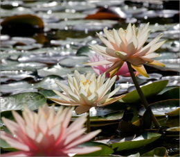 Pink Water Lillies.