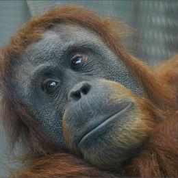 Orang Utang. Chester Zoo.