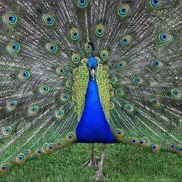 Peacock. Kew Gardens. England.