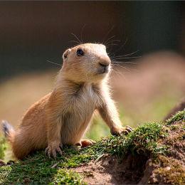Prarie Marmot. Chester Zoo.