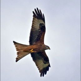 Red Kite. Wales.