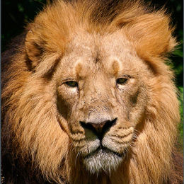 The Lion King. Chester Zoo. England.