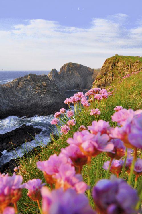 Pinks at Malin Head