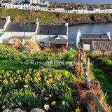 Portnahaven Daffodils, Islay
