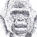 Bitam annoyed Western Lowland Gorilla