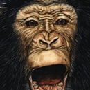 Play Face Chimpanzee