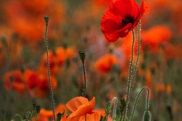 Poppies (Sq2)