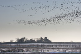 Pinkfoot Geese in flight, Norfolk