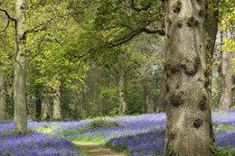 Bluebells Blickling, Norfolk
