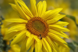Sunflower and Wasp