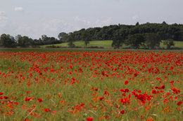 Poppies, Oundle