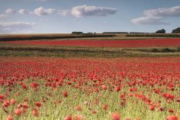 Poppies North Creake, Norfolk