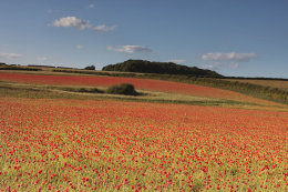 Acres of Poppies, Norfolk