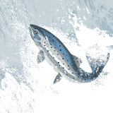 LEAPING SALMON RM054