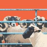 SHEEP RM072