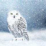 SNOWY OWL RM021