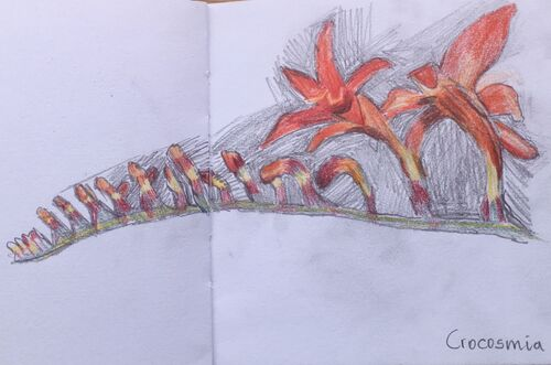 Janet Waters - In my garden - Crocosmia Sketch