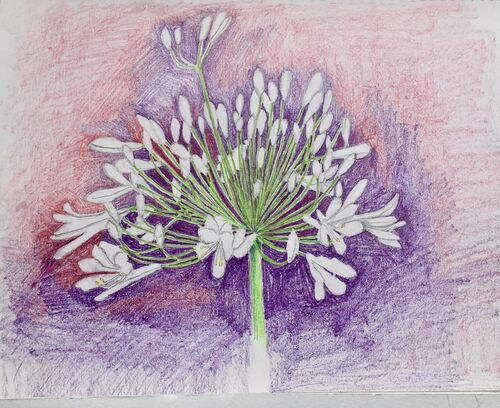 Janet Waters - In my garden - White Agapanthus