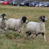 2016 LONGSHAW The Sheep 2220