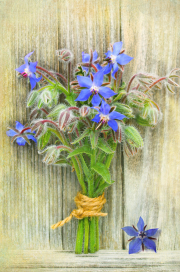 The Secret Language of Herbs:Borage/Ryland Peters & Small