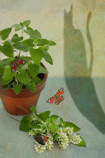 The Secret Language of Herbs:Catnip/Ryland Peters & Small