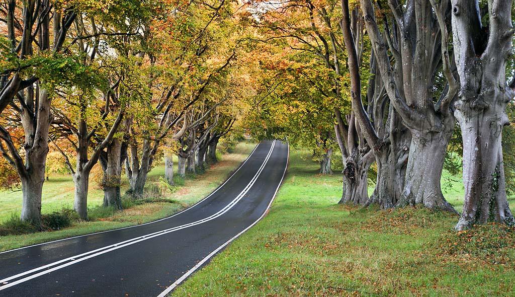 Beech Avenue Autumn