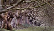 Beech Trees at Kingston lacey