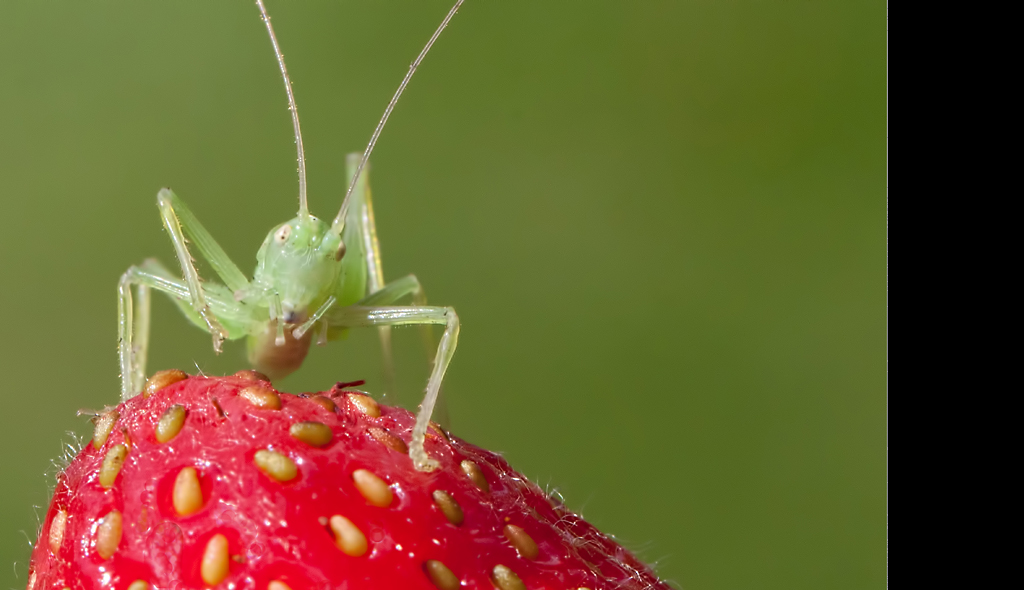 Cricket on Strawberry