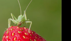 Cricket on Strawberry