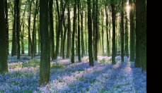 Early Morning Light and Bluebells