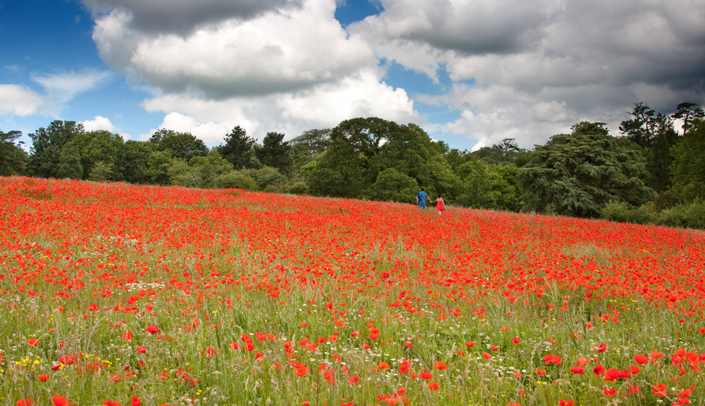 Heligan Poppy Field Cornwall
