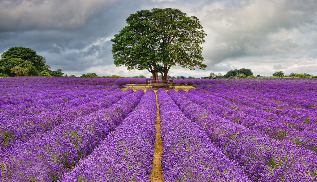 Mayfield Lavender Farm Surrey
